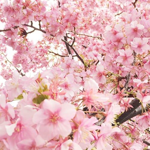 スマホでパシャッ!満開の桜をきれいに撮るテクニックをご紹介